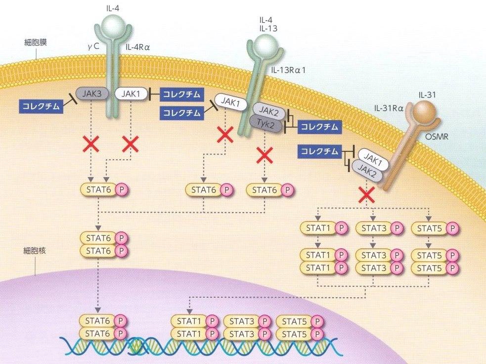 外用ヤヌスキナーゼ阻害剤:コレクチム軟膏-2